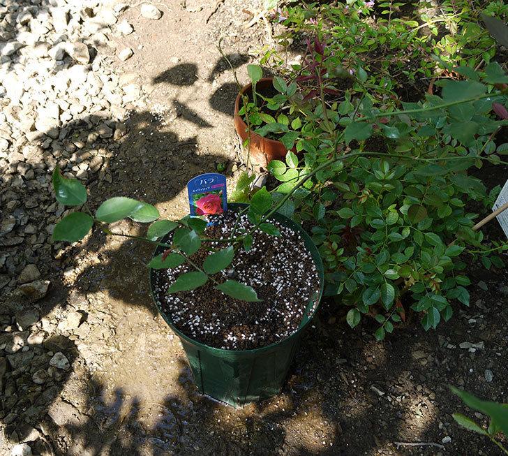 ルイフィリップ(木立バラ)の新苗を7号ロングスリット鉢に鉢増しした。2016年-6.jpg