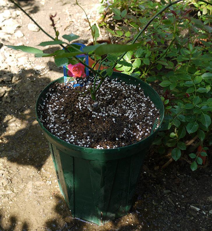 ルイフィリップ(木立バラ)の新苗を7号ロングスリット鉢に鉢増しした。2016年-7.jpg