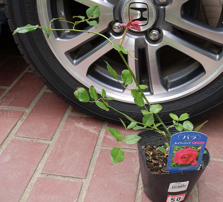 ルイフィリップ(木立バラ)の新苗買って来た。2016年-1.jpg