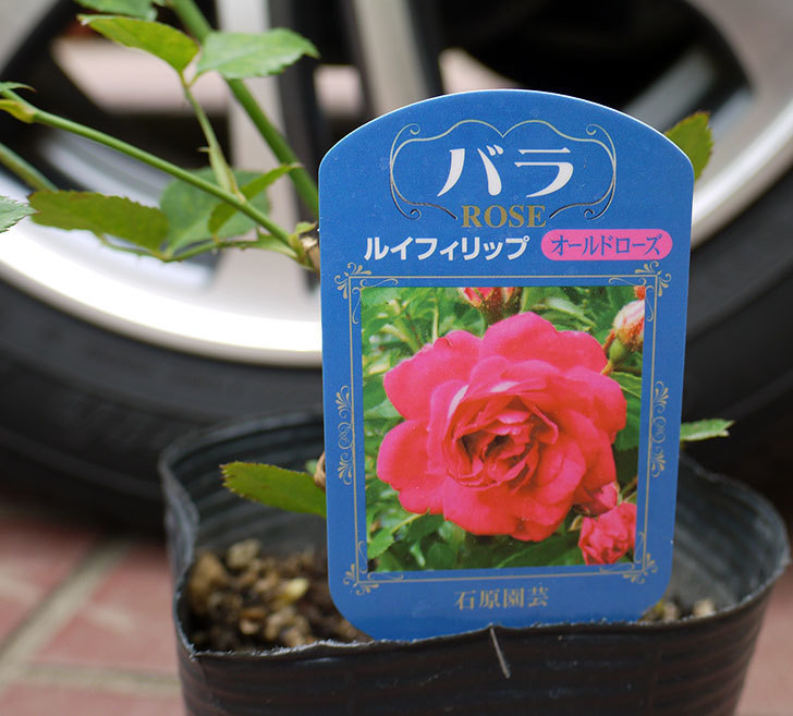ルイフィリップ(木立バラ)の新苗買って来た。2016年-3.jpg