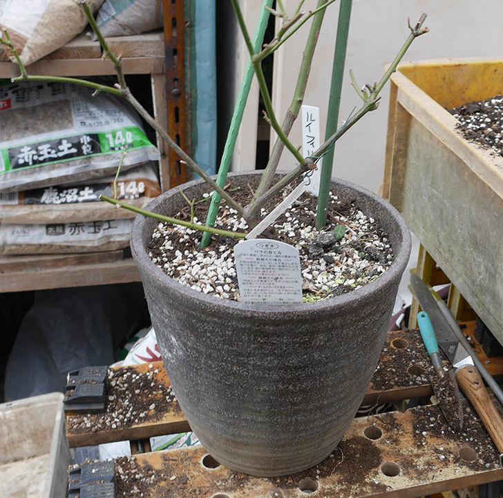 ルイフィリップ(木立バラ)の植え替えをした。2019年-2.jpg