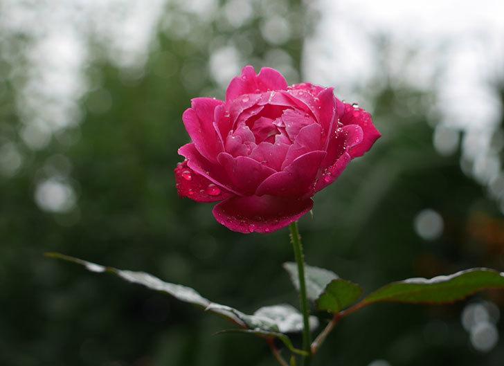 ルイフィリップ(木立バラ)の秋花が咲いた。2018年-1.jpg