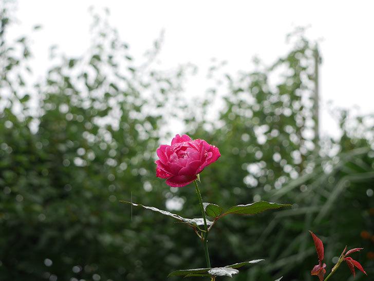 ルイフィリップ(木立バラ)の秋花が咲いた。2018年-3.jpg