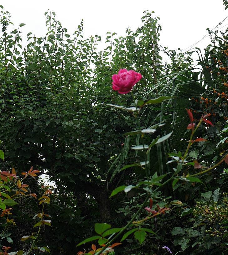 ルイフィリップ(木立バラ)の秋花が咲いた。2018年-4.jpg