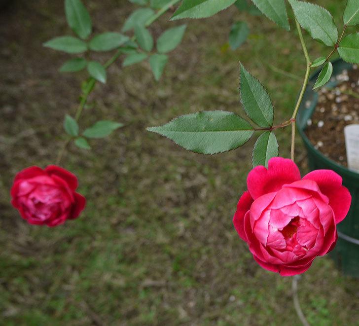 ルイフィリップ(木立バラ)の秋花が増えたきた。2016年-1.jpg