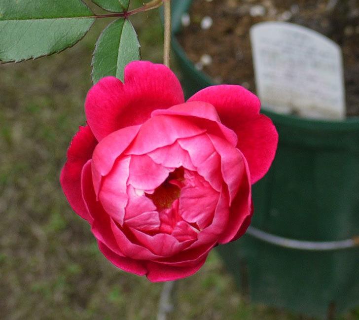 ルイフィリップ(木立バラ)の秋花が増えたきた。2016年-3.jpg