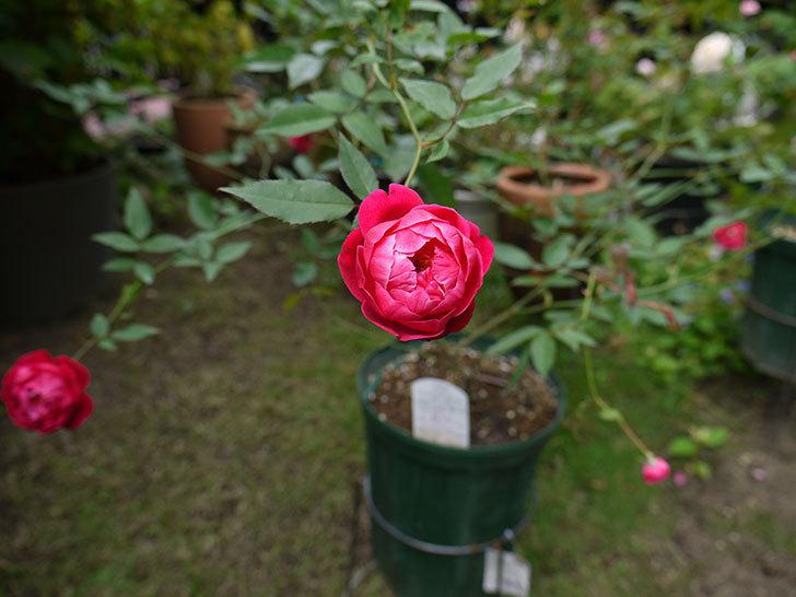 ルイフィリップ(木立バラ)の秋花が増えたきた。2016年-5.jpg