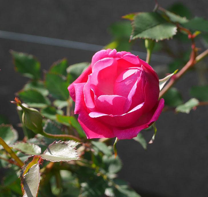 ルイフィリップ(木立バラ)の花が1個咲いた。2020年-1.jpg