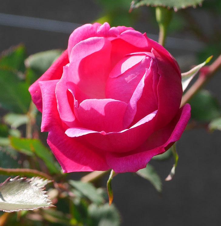 ルイフィリップ(木立バラ)の花が1個咲いた。2020年-2.jpg