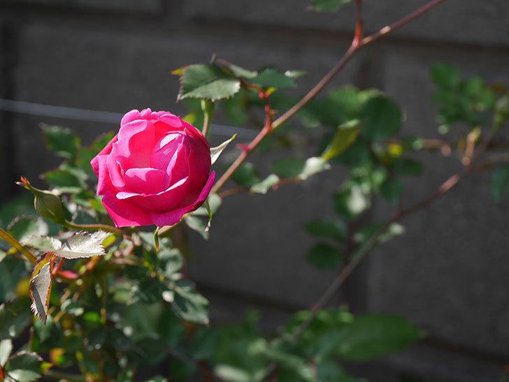 ルイフィリップ(木立バラ)の花が1個咲いた。2020年-3.jpg