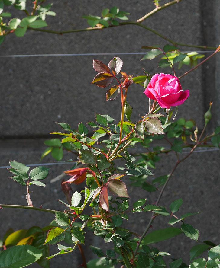 ルイフィリップ(木立バラ)の花が1個咲いた。2020年-4.jpg