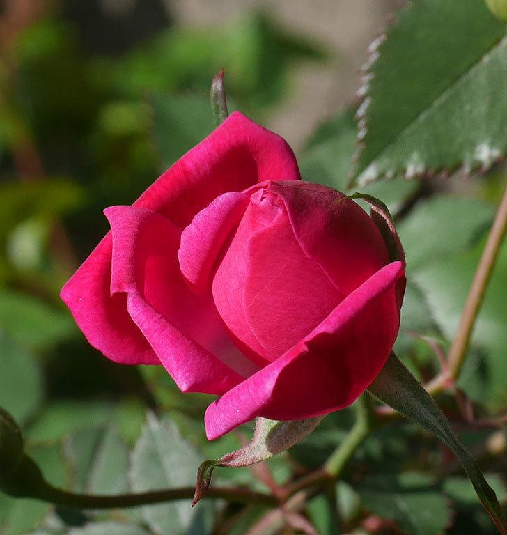 ルイフィリップ(木立バラ)の花が1個咲いた。2020年-6.jpg