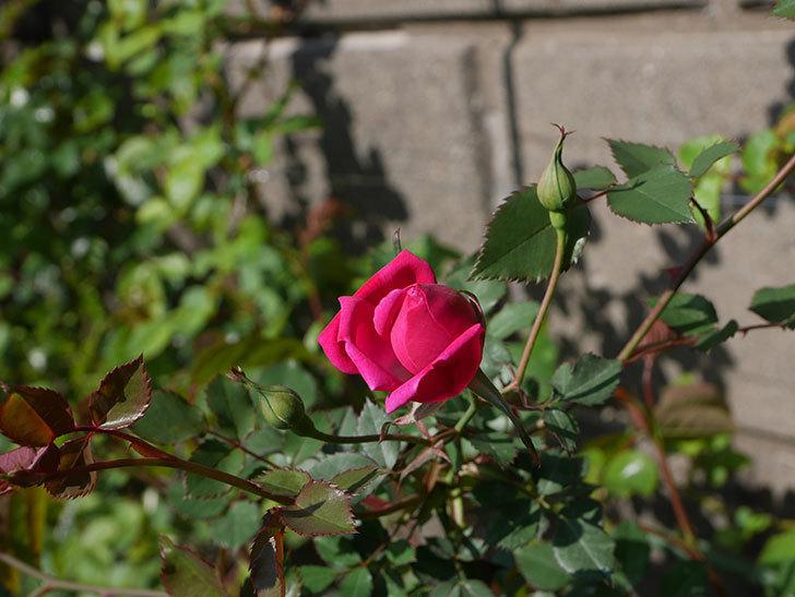 ルイフィリップ(木立バラ)の花が1個咲いた。2020年-7.jpg