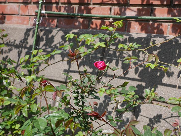 ルイフィリップ(木立バラ)の花が1個咲いた。2020年-8.jpg