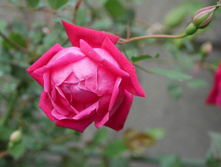 ルイフィリップ(木立バラ)の花が2個が綺麗に咲いた。2020年-11.jpg