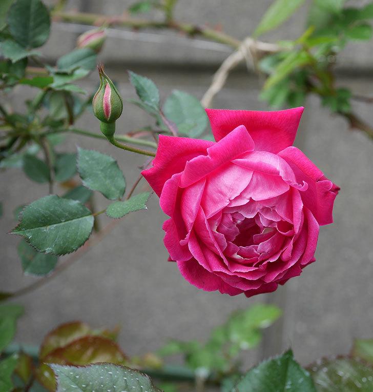 ルイフィリップ(木立バラ)の花が2個が綺麗に咲いた。2020年-12.jpg