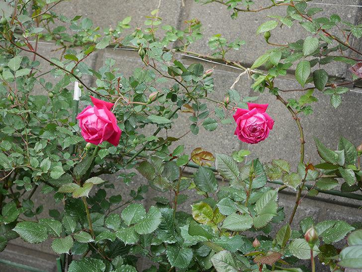 ルイフィリップ(木立バラ)の花が2個が綺麗に咲いた。2020年-13.jpg