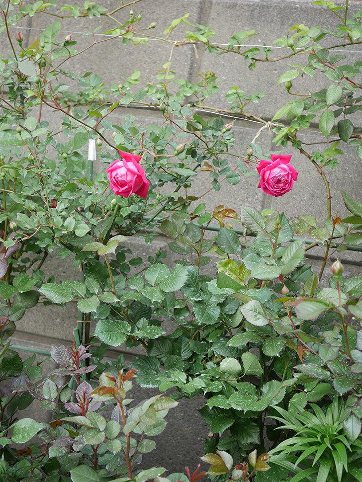 ルイフィリップ(木立バラ)の花が2個が綺麗に咲いた。2020年-14.jpg