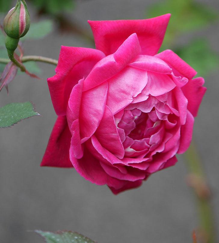 ルイフィリップ(木立バラ)の花が2個が綺麗に咲いた。2020年-3.jpg
