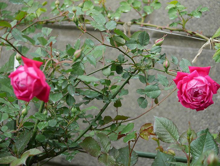 ルイフィリップ(木立バラ)の花が2個が綺麗に咲いた。2020年-4.jpg