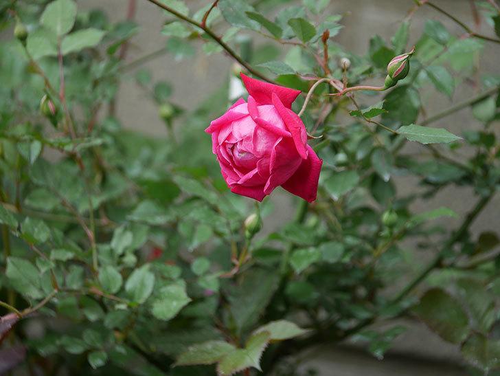 ルイフィリップ(木立バラ)の花が2個が綺麗に咲いた。2020年-7.jpg