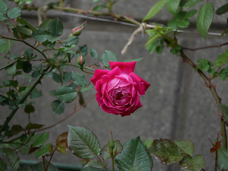 ルイフィリップ(木立バラ)の花が2個が綺麗に咲いた。2020年-8.jpg