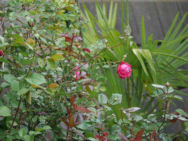 ルイフィリップ(木立バラ)の花が2個が綺麗に咲いた。2020年-9.jpg