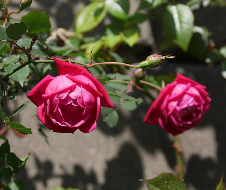 ルイフィリップ(木立バラ)の花が2個咲いた。2020年-1.jpg