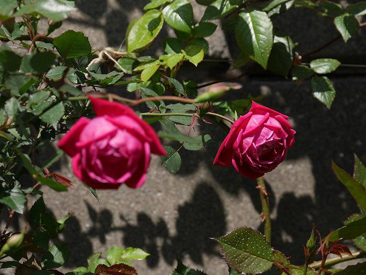 ルイフィリップ(木立バラ)の花が2個咲いた。2020年-10.jpg