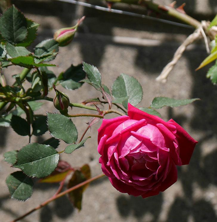 ルイフィリップ(木立バラ)の花が2個咲いた。2020年-2.jpg