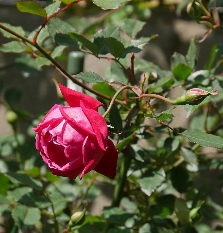 ルイフィリップ(木立バラ)の花が2個咲いた。2020年-3.jpg