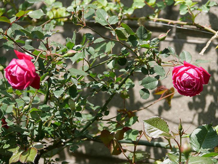 ルイフィリップ(木立バラ)の花が2個咲いた。2020年-4.jpg