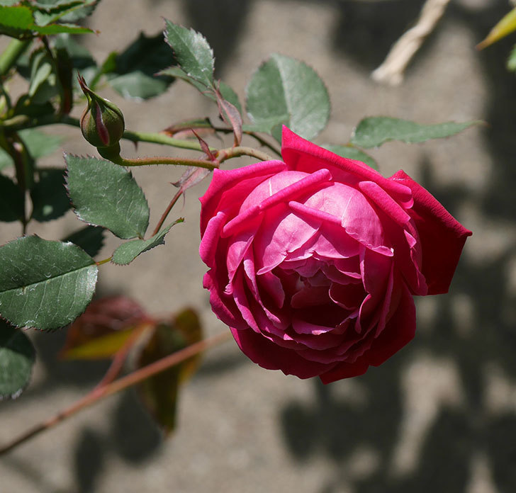 ルイフィリップ(木立バラ)の花が2個咲いた。2020年-5.jpg