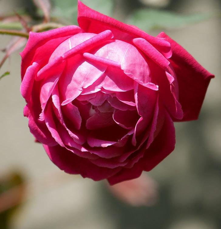 ルイフィリップ(木立バラ)の花が2個咲いた。2020年-6.jpg