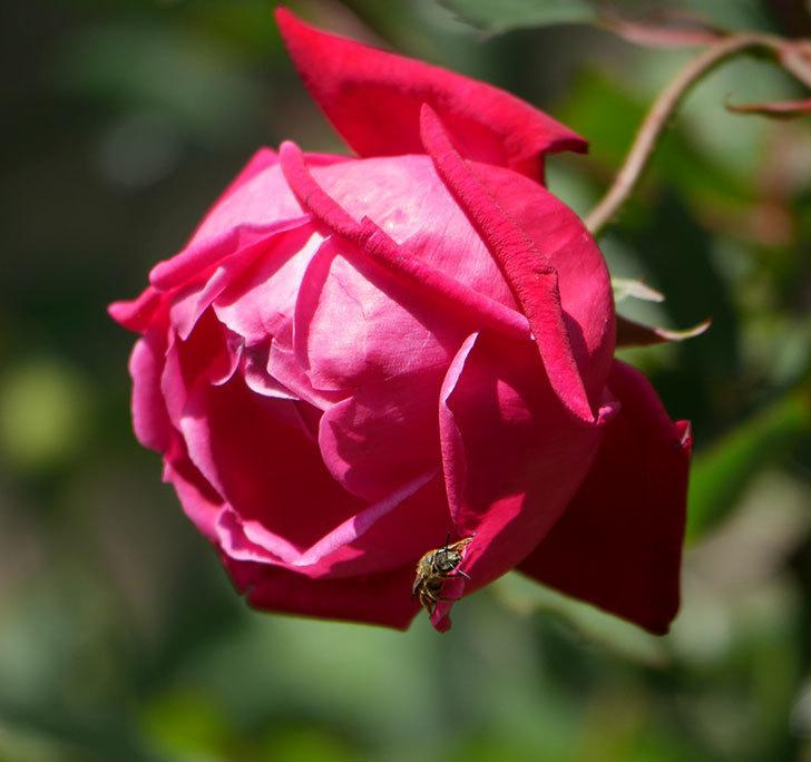 ルイフィリップ(木立バラ)の花が2個咲いた。2020年-7.jpg