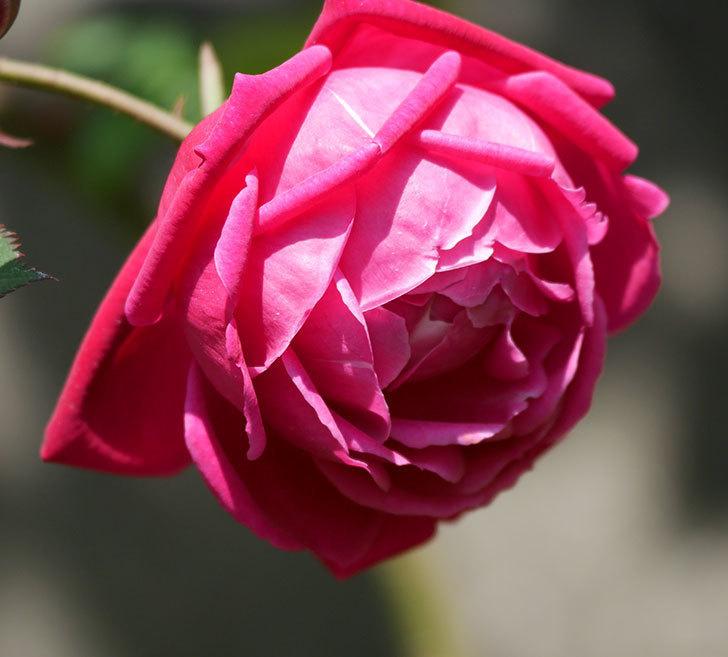 ルイフィリップ(木立バラ)の花が2個咲いた。2020年-9.jpg