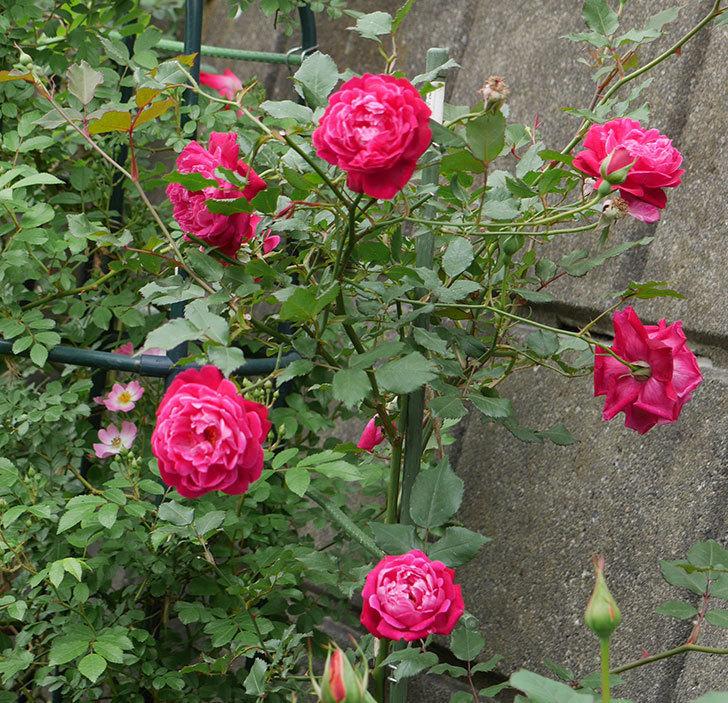 ルイフィリップ(木立バラ)の花がまた咲きだした。2018年-2.jpg