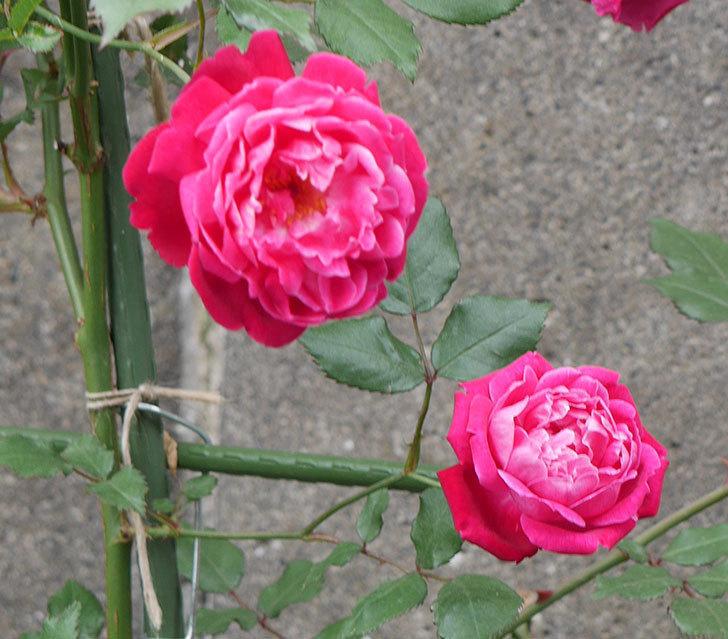 ルイフィリップ(木立バラ)の花がまた咲きだした。2018年-3.jpg