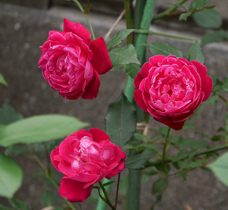 ルイフィリップ(木立バラ)の花がまた咲きだした。2018年-6.jpg
