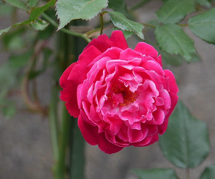 ルイフィリップ(木立バラ)の花がまた咲きだした。2018年-7.jpg