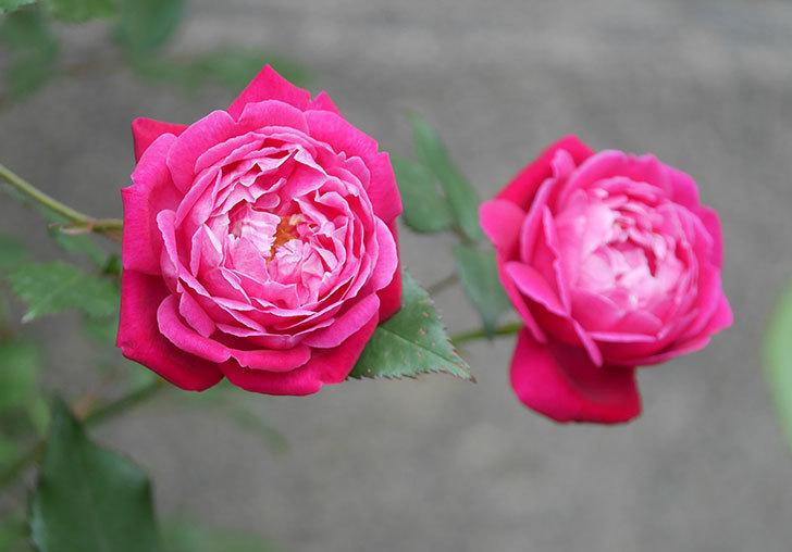 ルイフィリップ(木立バラ)の花がまた咲きだした。2018年-8.jpg