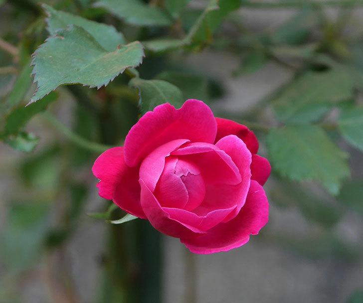 ルイフィリップ(木立バラ)の花がまた咲きだした。2018年-9.jpg
