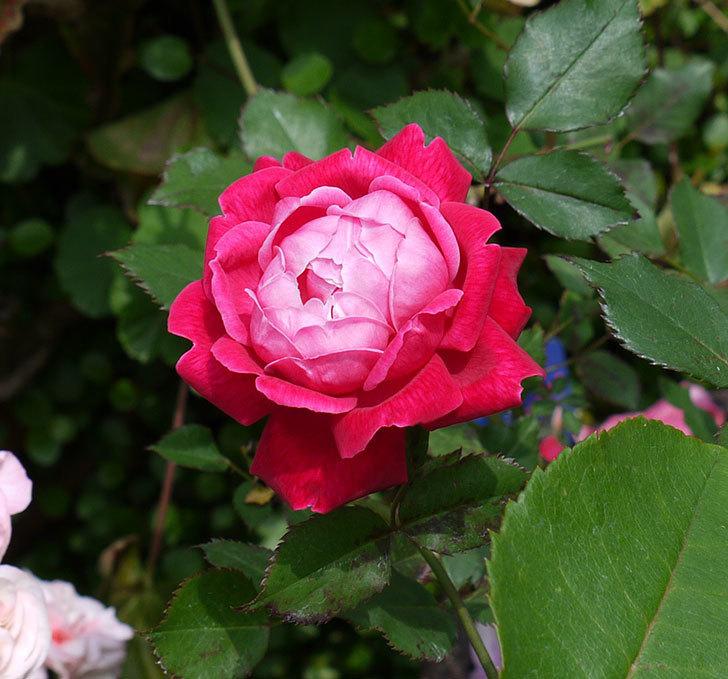 ルイフィリップ(木立バラ)の花がカップ状で綺麗に咲いた。2017年-1.jpg