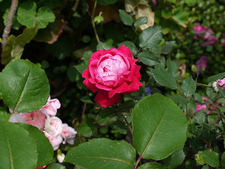 ルイフィリップ(木立バラ)の花がカップ状で綺麗に咲いた。2017年-2.jpg
