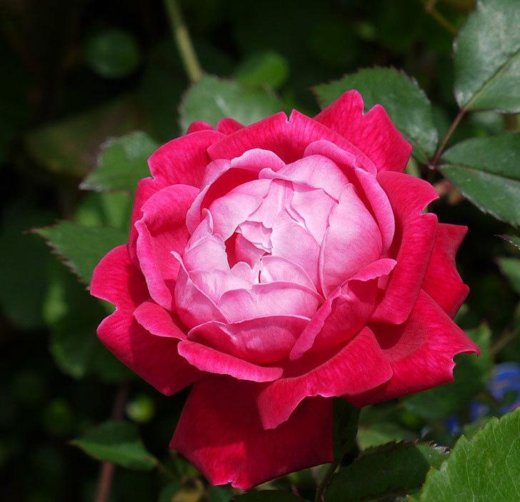 ルイフィリップ(木立バラ)の花がカップ状で綺麗に咲いた。2017年-3.jpg