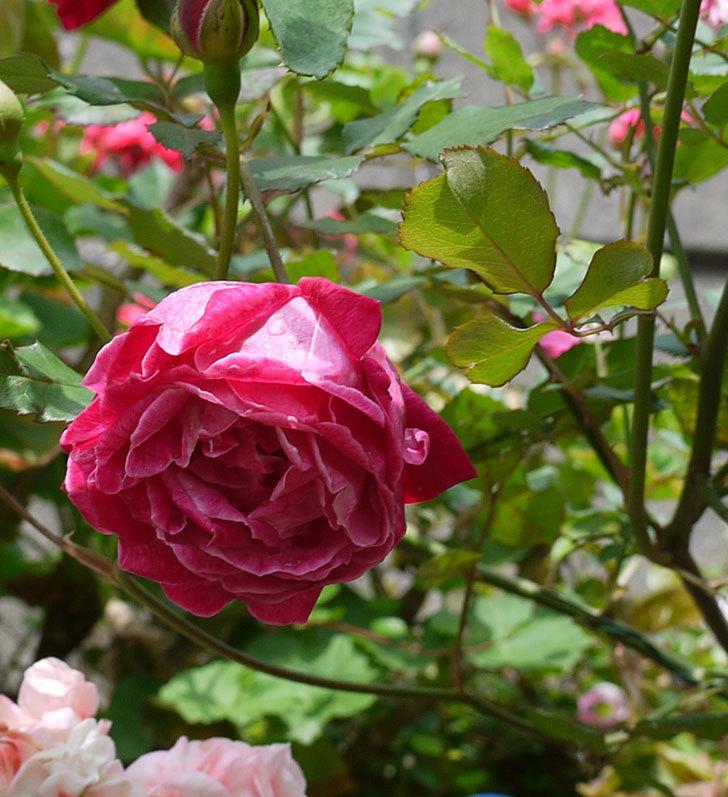 ルイフィリップ(木立バラ)の花がカップ状で綺麗に咲いた。2017年-4.jpg