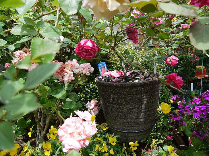 ルイフィリップ(木立バラ)の花がカップ状で綺麗に咲いた。2017年-5.jpg