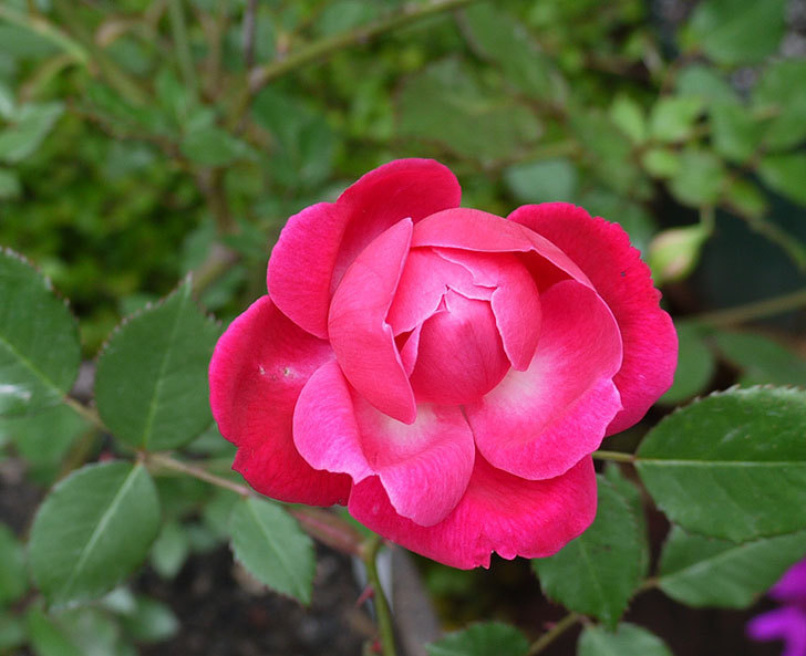 ルイフィリップ(木立バラ)の花が咲いた。2017年-10.jpg