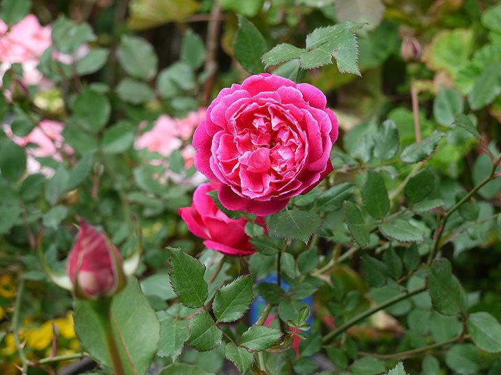 ルイフィリップ(木立バラ)の花が咲いた。2017年-2.jpg