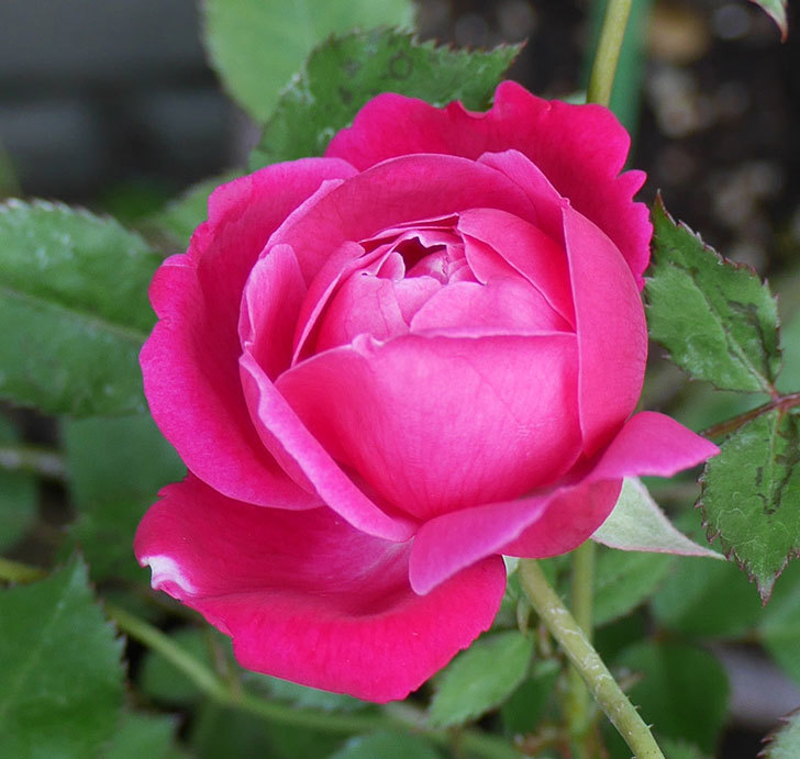 ルイフィリップ(木立バラ)の花が咲いた。2018年-2.jpg